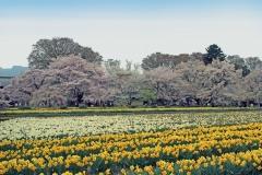 公園,町,屋外,春,晴れ
