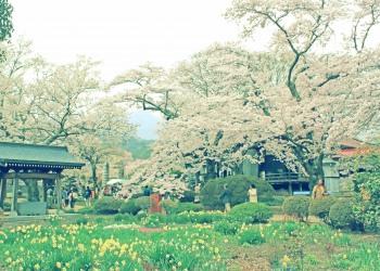 神社,日本庭園,屋外,晴れ,春,昭和レトロ