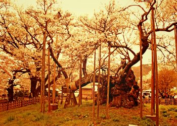 寺,日本庭園,和,屋外,春,ヴィンテージ